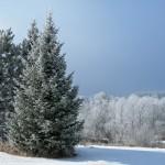 SnellmanFrostyTrees