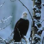 eagle - fws