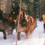 horses at Itasca