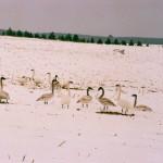 swans in a field